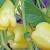 Rezidba paprike: Kod bujnih sorti dobar je uzgoj na dvije grane