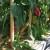 Papriku je najbolje prihraniti prirodnim gnojivima koja možete i sami napraviti