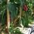 Papriku je najbolje đubriti prirodnim đubrivima koja možete i sami napraviti