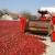 Šafram diže otkupnu cijenu paprike na 3 kn/kg, a osim hibridnog, vraćaju i sortno sjeme!
