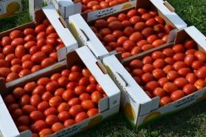 Traže povećanje: Cijena od 0,17 F za industrijski paradajz niska?