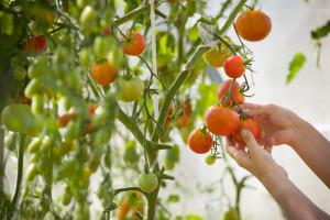 Hladna Rusija proizvede 380 hiljada tona paradajza godišnje
