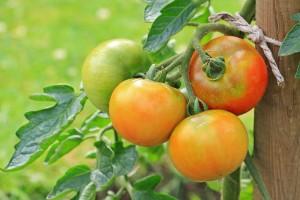 Znakovi nedostatka hraniva na rajčici