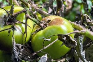 Plamenjača je najčešća bolest paradajza: Kako zaštititi biljke?