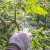 Pravilna nega paradajza - od vezivanja, preko dekapitacije do malčovanja
