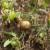 Plamenjača paradajza: Kako sprečiti, lečiti i izlečiti