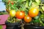 Kalemljenje rajčice za veći prinos