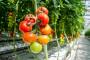 Povećan izvoz svežeg paradajza
