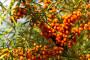 Pasji trn - cijenjeni lijek i dekorativan grm