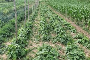 Na samo jednom hektaru uzgaja 55 različitih sorti graha