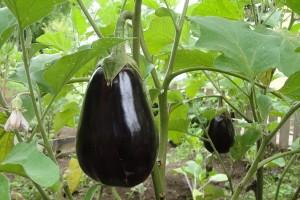 Kako sakupiti seme patlidžana?