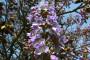 1000 sadnica paulovnije raste u Mladenovu