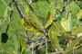 Maslinari, zaštitite maslinu od paunovog oka