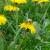 Jestivi korovi koji verovatno rastu i u vašem dvorištu