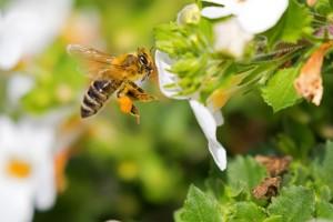"""EFSA: Prikupljanje i analiza podataka kao """"prekretnica"""" u evropskoj kampanji za zaštitu pčela!"""