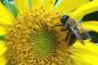 Otrovnost i opasnost sredstava za zaštitu bilja na pčele