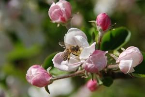 U SAD oprašivanje useva isplativije od proizvodnje meda
