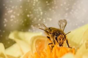 Bolesne pčele se hrane zdravije