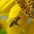 Pčele kao psi tragači: Istrenirane pronašle polje suncokreta i oprašile ga