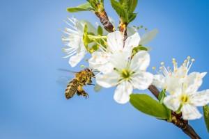 Zaštitite pčele u vrijeme leta - krenula kampanja Čuvajmo pčele