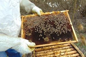 Pčelinji otrov - proizvod vredniji od zlata