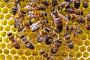 Novi virus s Havaja preti pčelama