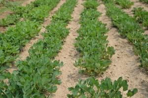 Kako jednostavno uzgojiti kikiriki u bašti ili saksiji
