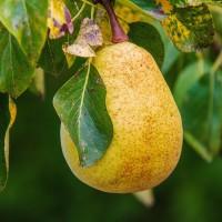 Kruška iz sjemena: Sakupljanje, čuvanje i priprema