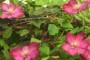 Cvatuće penjačice