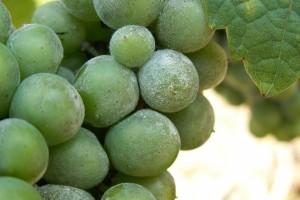 Vreme je za zaštitu od pepelnice vinove loze