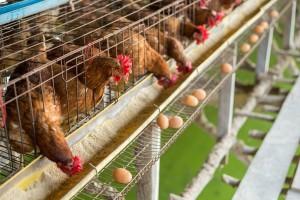 Kontrolirali jaja i mesa peradi na ostatke insekticida, u 742 uzorka utvrđene nedozvoljene količine
