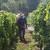Vinogradari oprez: Siva plijesan u napadu na stolno grožđe!