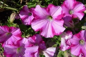Sadnja petunije - sami uzgajajte rasad