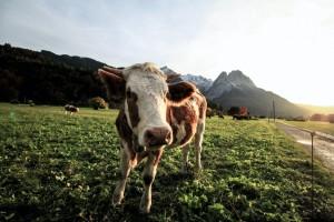 Što je to trulo u mljekarskom sektoru?