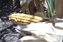 Grivičić smatra urod kukuruza rekordnim