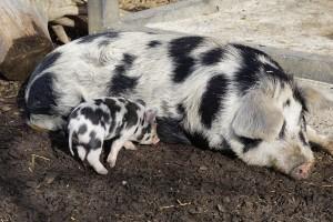 Hrvatska ima tri autohtone pasmine svinja, ali najviše uzgaja landras