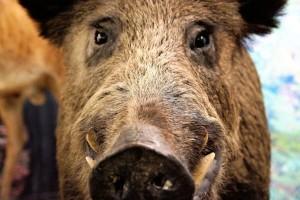 Kuda idu divlje svinje? Pod vlak!