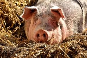 Prijedlog Programa državne potpore za unaprjeđenje dobrobiti svinja