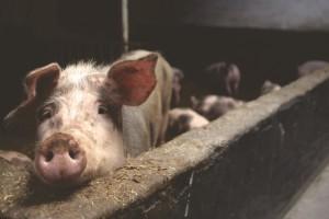 Jakovčić: Vrijeme je za osnivanje pravog europskog stožera za suzbijanje afričke svinjske kuge