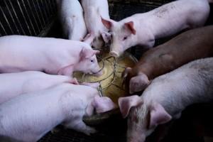 U Srpskoj nema afričke svinjske kuge, no mjere opreza stoje
