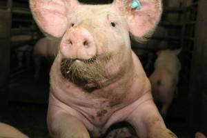 Afrička svinjska kuga na pragu BiH: nema opasnosti za zdravlje ljudi