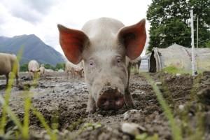 Kazne za kršenje pravila o dobrobiti životinja prilikom klanja do 15.000 kuna!