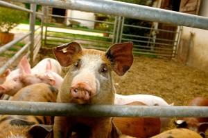 Hrvatskoj ukinuta sva ograničenja nastala zbog klasične svinjske kuge