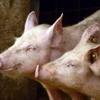 Zbog prijetnje Afričke svinjske kuge i nova pravila za svinjokolju
