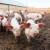 Broj svinja u Kini smanjen za trećinu zbog afričke kuge