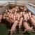 Proizvoditi će 840.000 svinja godišnje na farmama sa 12 spratova