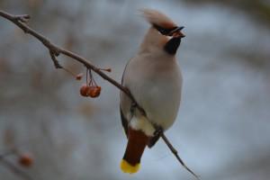Pijane ptice uzrokuju kaos u Minnesoti