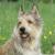 Pikardijski ovčar - inteligentan pastirski pas koji obožava djecu