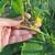 Pinciranje krastavaca ubrzaće berbu i do 20 dana