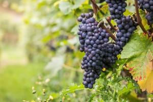 U duvanjskom kraju niču vinogradi, posađena četiri, planiraju i peti